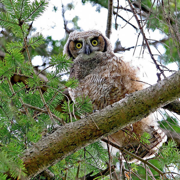 Photograph - Baby Great Horned Owl by Peggy Collins