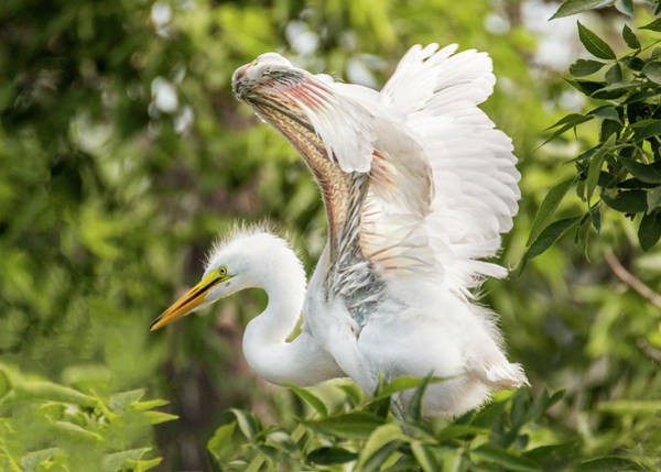 Photograph - Baby Great White Egret - Testing Wings by Patti Deters