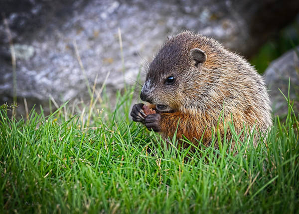 Photograph - Baby Groundhog Eating by Bob Orsillo