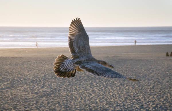 Furon Photograph - Baby Gull At Dusk by Daniel Furon