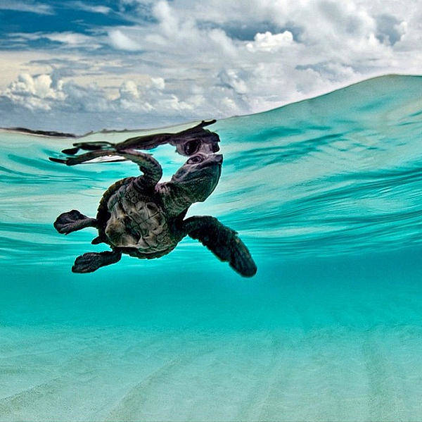 Abstract Skyline Wall Art - Photograph - Baby Hawksbill Sea Turtle  by Andy Bucaille