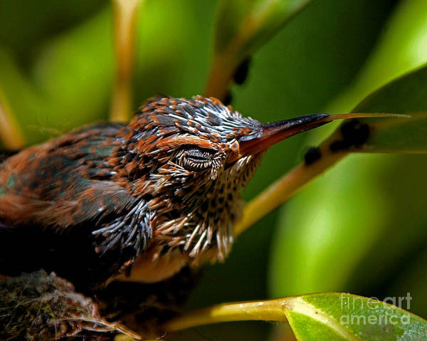 Selasphorus Photograph - Baby Hummer Sticking Out Tongue by Kim Michaels