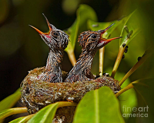 Selasphorus Photograph - Baby Hummers About 10 Days Old by Kim Michaels