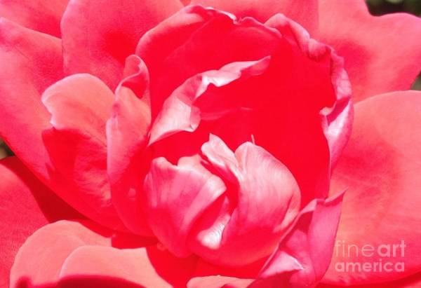 Photograph - Baby In The Heart Of A Rose by Tracy