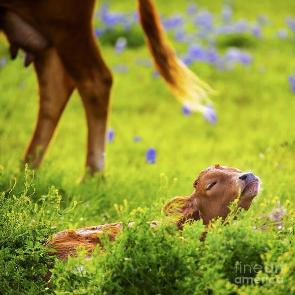 Wall Art - Photograph - Baby Longhorn In Texas Bluebonnet Field by Katya Horner