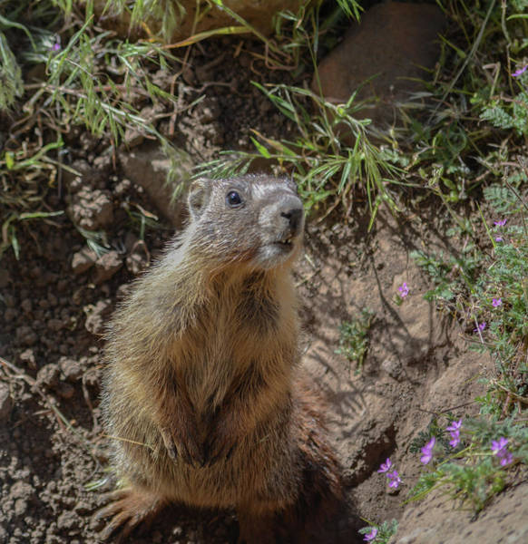 Marmot Photograph - Baby Marmot by Dave Hill