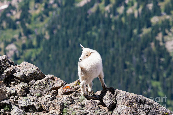 Photograph - Baby Mountain Goat On Massive by Steve Krull