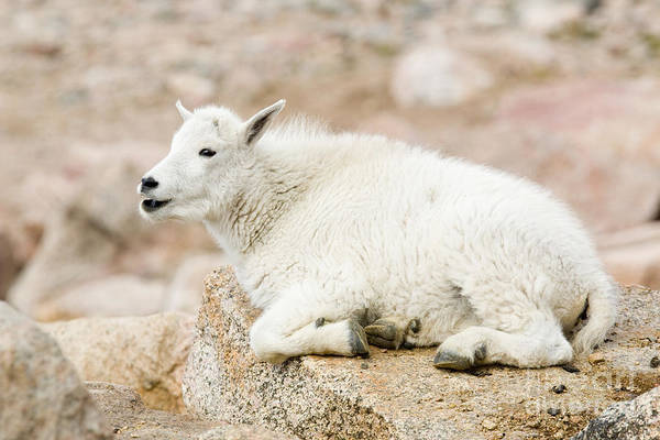 Photograph - Baby Mountain Goat On Mount Evans by Steve Krull