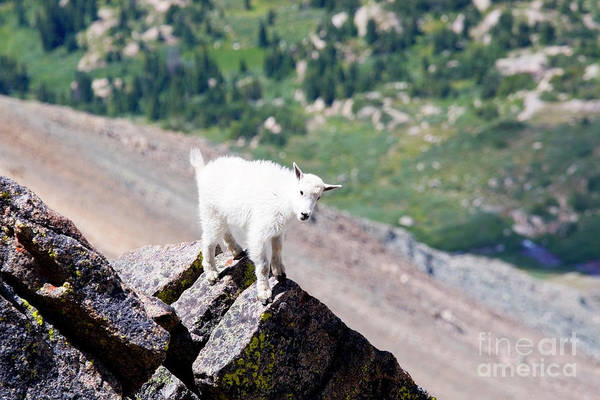 Photograph - Baby Mountain Goat On Mount Massive Colorado by Steve Krull
