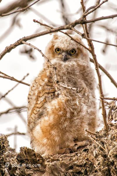Photograph - Baby Owl 06..... by Paul Vitko