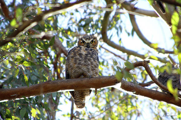 Photograph - Baby Owl by Diana Haronis