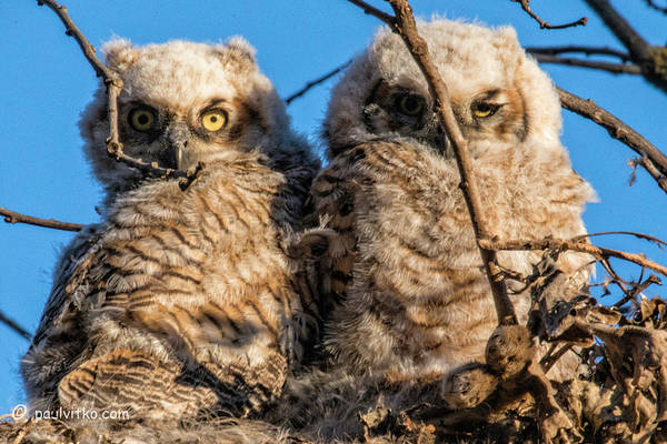 Photograph - Baby Owls 05.... by Paul Vitko