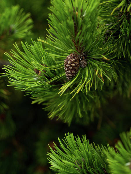 Photograph - Baby Pine Cone by Whitney Leigh Carlson