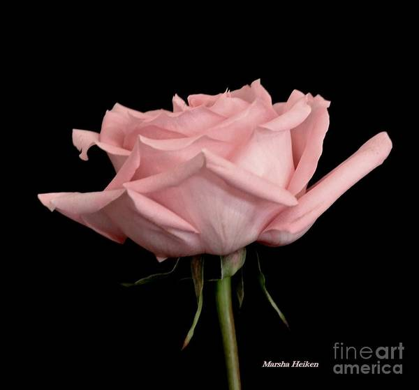 Wall Art - Photograph - Baby Pink Rose Two by Marsha Heiken