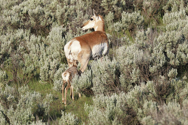 Photograph - Baby Pronghorn Feeding by Dan Sproul