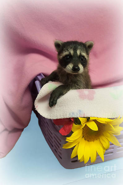 Photograph - Baby Racoon by Photos By Cassandra