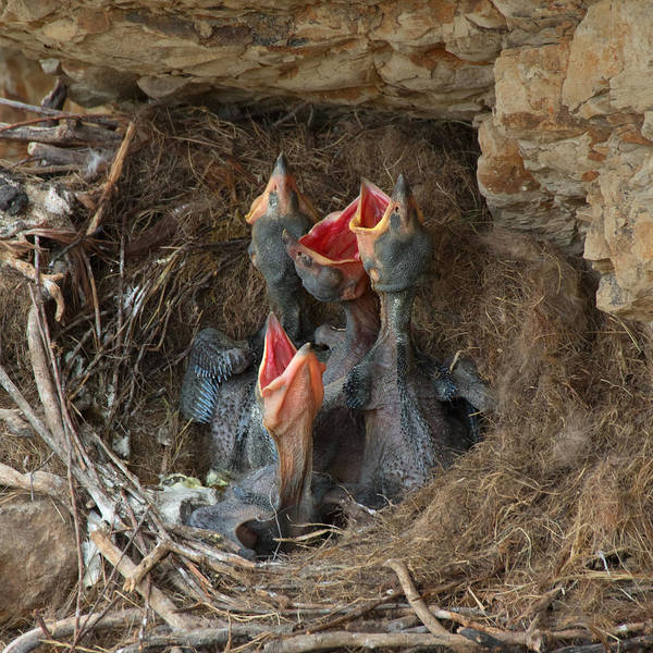 Crows Nest Wall Art - Photograph - Baby Ravens In A Nest by Kathleen Bishop