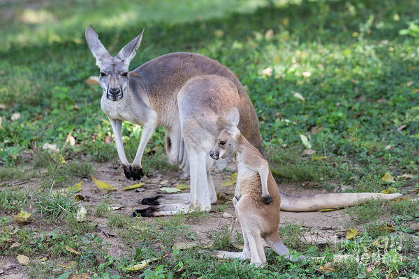 Photograph - Baby Roo by Andrea Silies