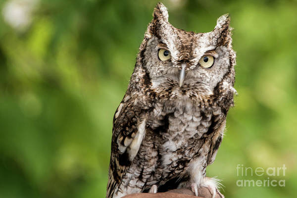 Photograph - Baby Screech Owl by Anthony Sacco