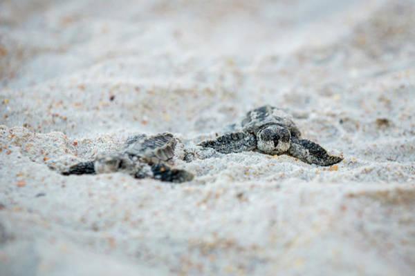John Hancock Photograph - Baby Sea Turtles by John Hancock