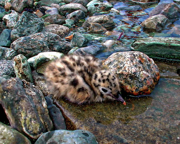 Photograph - Baby Seagull by Anthony Dezenzio