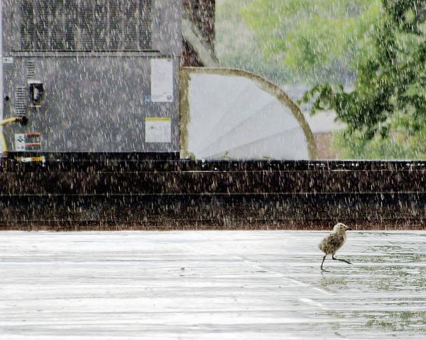 Baby Bird Photograph - Baby Seagull Running In The Rain by Bob Orsillo