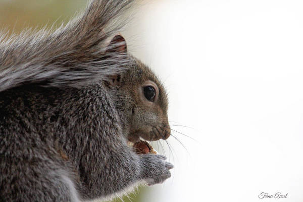 Photograph - Baby Squirrel Portrait by Trina Ansel