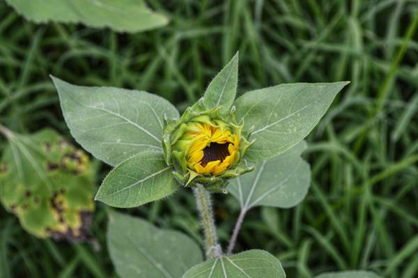 Photograph - Baby Sunflower  by Joseph Caban