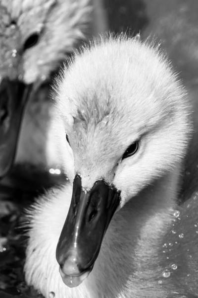 Photograph - Baby Swan Headshot by Jacek Wojnarowski