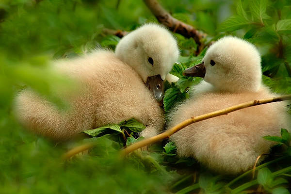 Photograph - Baby Swans by Harry Spitz