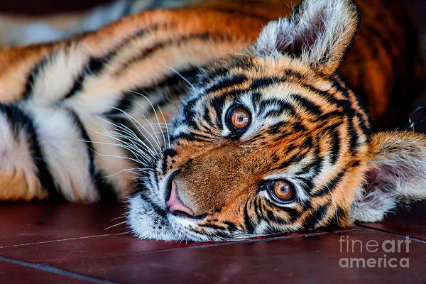 Photograph - Baby Tiger by Ray Shiu