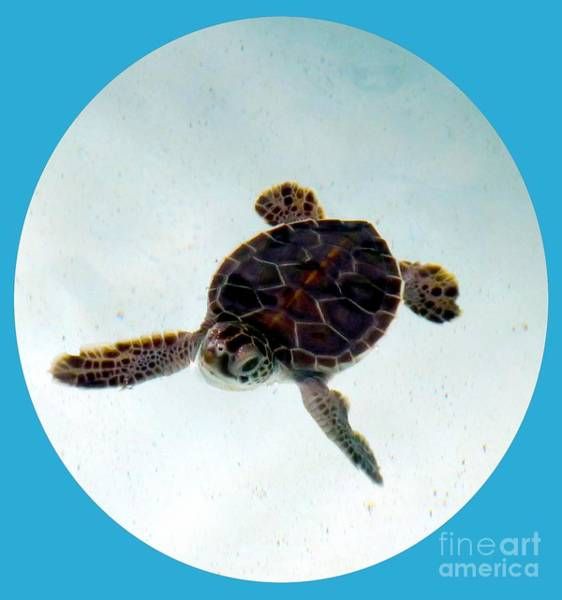 Photograph - Baby Turtle by Francesca Mackenney