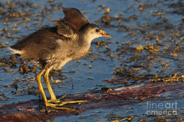 Photograph - Baby Wings - Common Gallinule by Meg Rousher