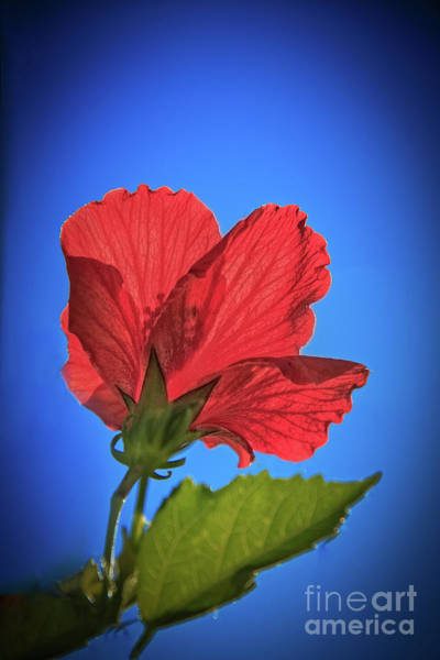 Wall Art - Photograph - Back Lighting The Red Hibiscus  by Robert Bales