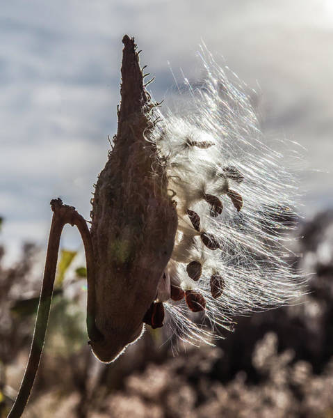 Photograph - Back Lit Milkweed Pod by Lon Dittrick