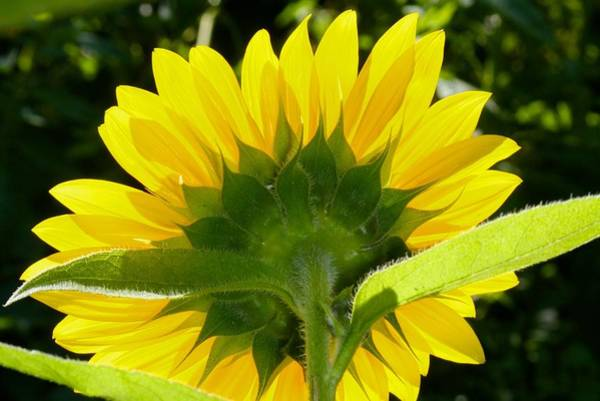 Photograph - Back Of A Sunflower Basking In The Sun by Polly Castor