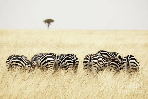 Wall Art - Photograph - Back View Of Zebras In A Row  by Jane Rix