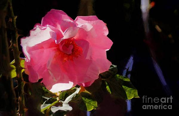 Photograph - Back Yard Rose by John Kolenberg