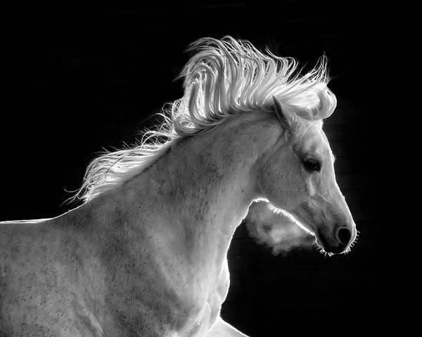 Photograph - Backlit Arabian by Wes and Dotty Weber