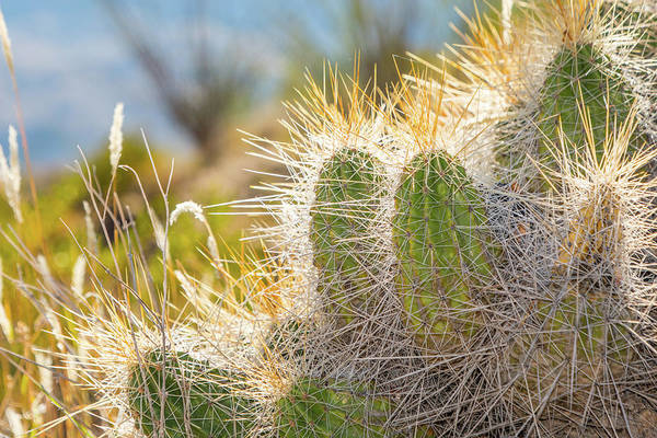 Photograph - Backlit Cactus by SR Green