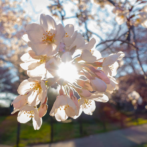 Photograph - Backlit Cherry Blossom by SR Green