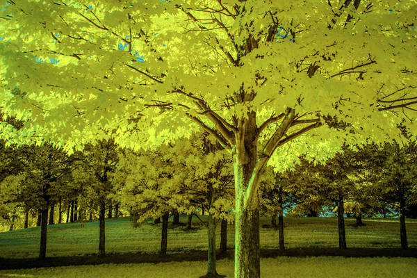 Photograph - Backlit Leaves Of A Tree In Infrared by Randall Nyhof