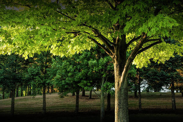 Photograph - Backlit Leaves Of A Tree by Randall Nyhof