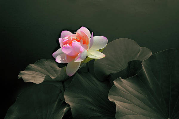 Pink Lotus Flower Photograph - Backlit Lotus by Jessica Jenney
