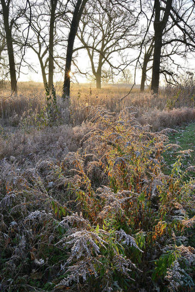 Photograph - Backlit Oak Savannah In Glacial Park by Ray Mathis