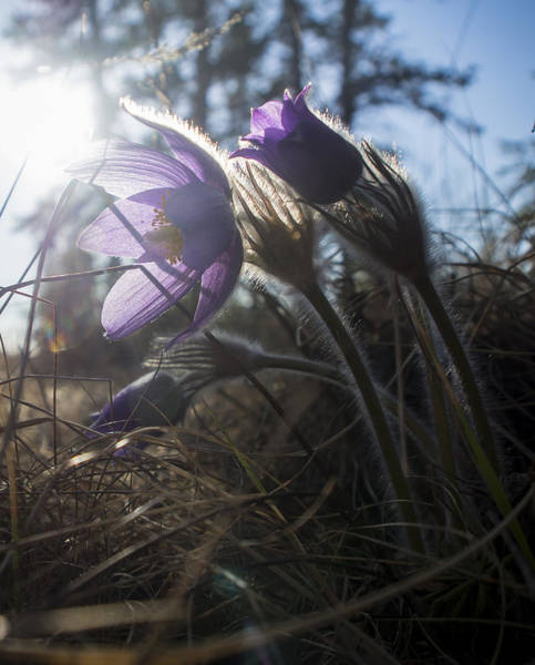 Backlit Pasque Flowers Art Print