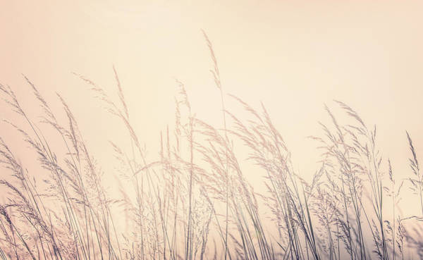 Photograph - Backlit Prairie Grass by Dan Sproul