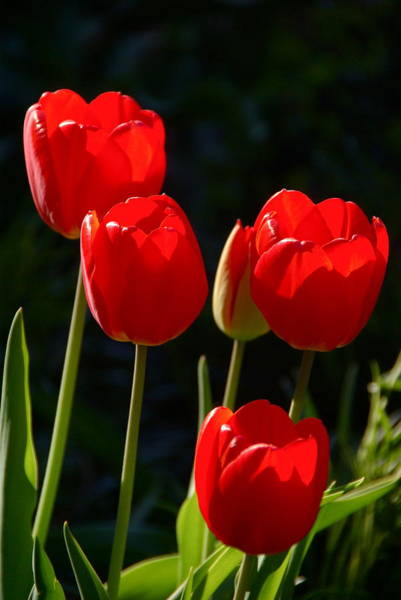 Photograph - Backlit Red Tulips by Byron Varvarigos