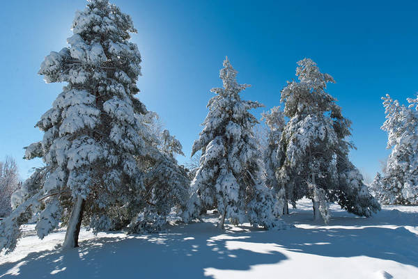 Photograph - Backlit Snowy Pines by Cascade Colors