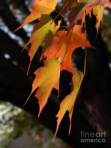 Wall Art - Photograph - Backlit Sugar Maple Leaves With Trunk by Anna Lisa Yoder